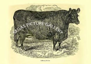 Galloway fat Cow